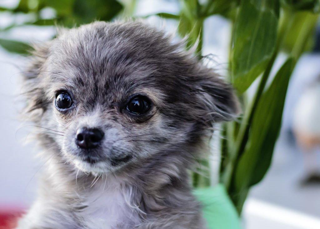 Kleiner, junger Chihuahua