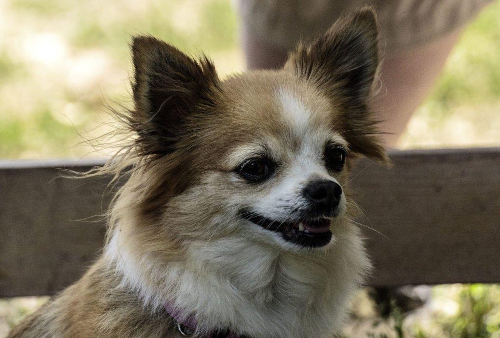 Hundefotografie - Kopf eines Chihuahuas