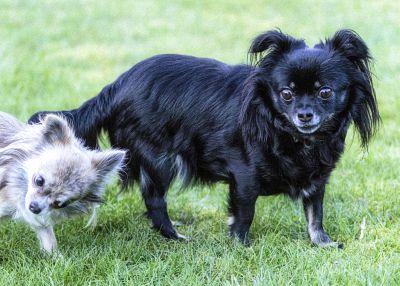 Ein schwarzer Chihuahua und ein bescher Chihuahua